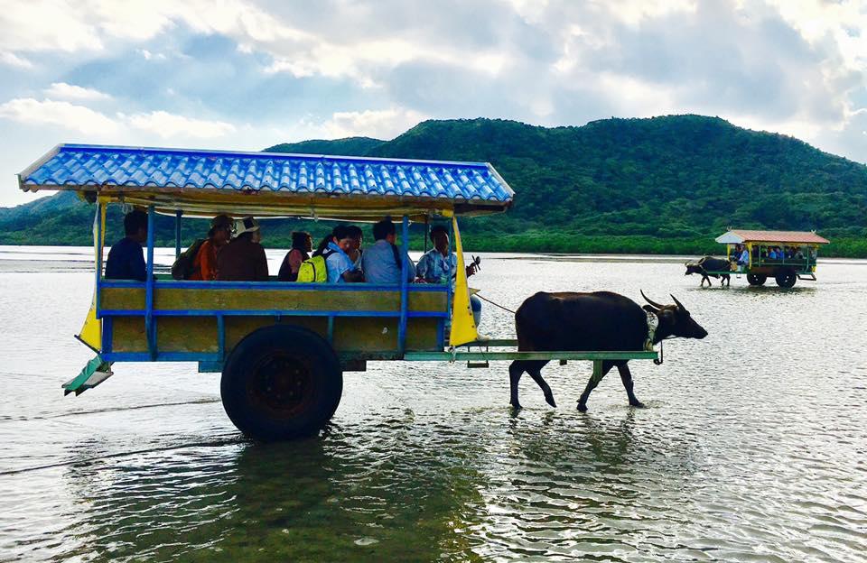 沖縄西表島で水牛車で由布島やマングローブを見に行こう