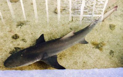 黒島のサメ