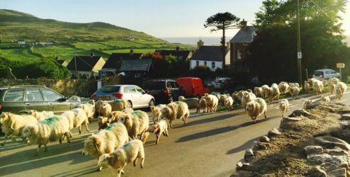羊たちの帰宅