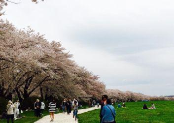 Inked桜並木_LI