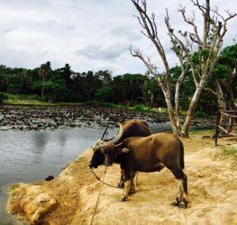 小浜島の水牛