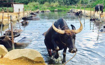 亜熱帯植物楽園の水牛