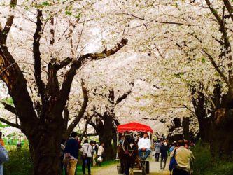 桜並木と馬車