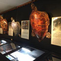 黒島研究所の亀の展示