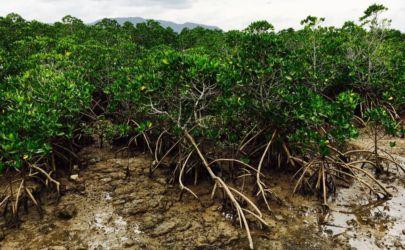 亜熱帯植物のマングローブ