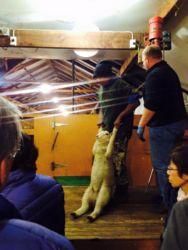 羊の毛刈りショー前