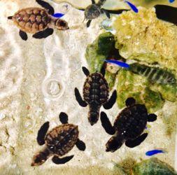 黒島のウミガメ