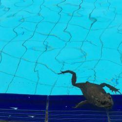 ホテルのプールに連なるカエルの卵