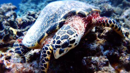 石垣のウミガメ