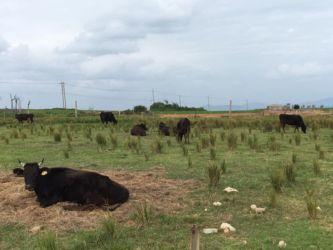 小浜島の黒牛