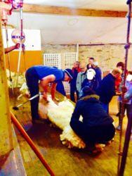 Inked羊の毛刈りショー_LI