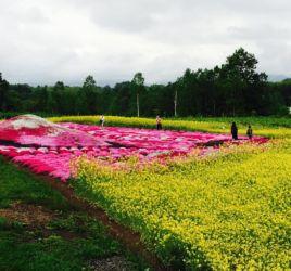 倶知安町三島さん宅の芝桜と菜の花