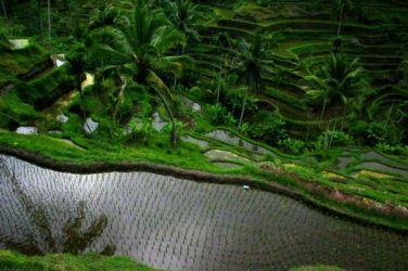 バリの田園風景